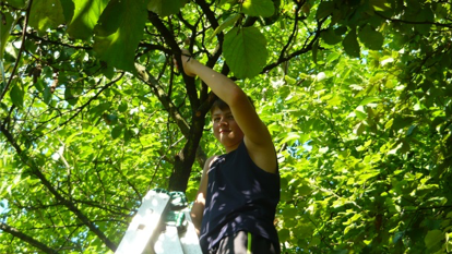 First it was necessary to harvest the fruit. Our children diligently acquitted this task.(Well, I must say that work safety is sometimes a total stranger to them. Fortunately everything went without any accidents.)